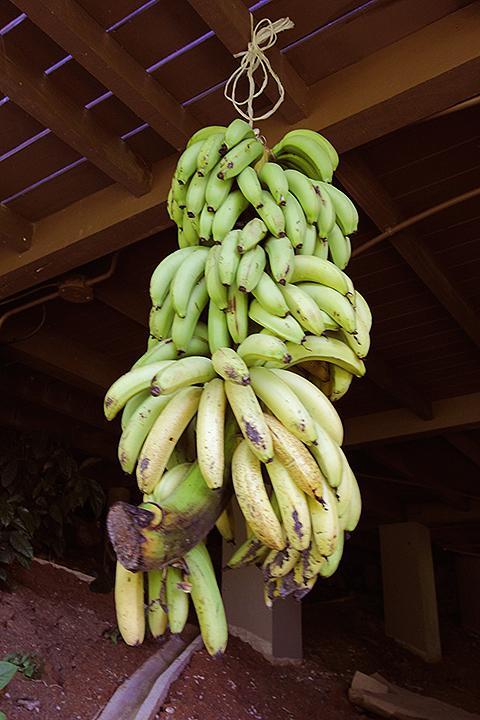 Bananas from the garden