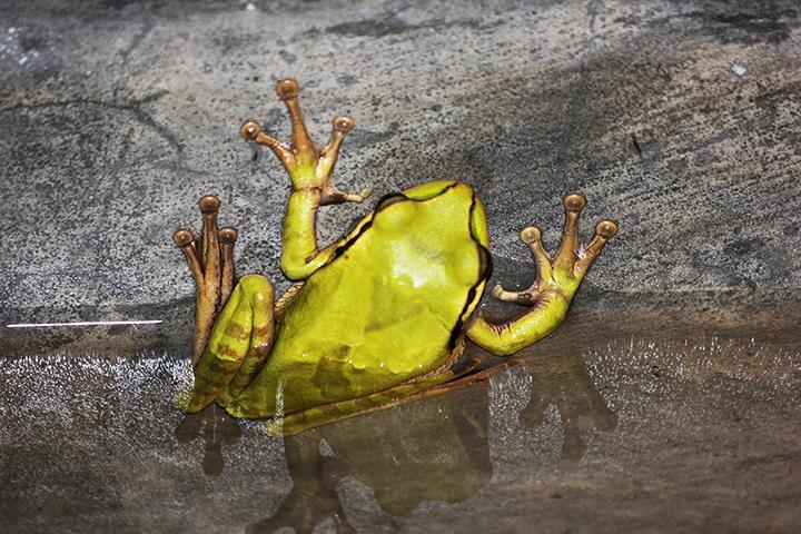 Night frog sneaking a swim in the pool