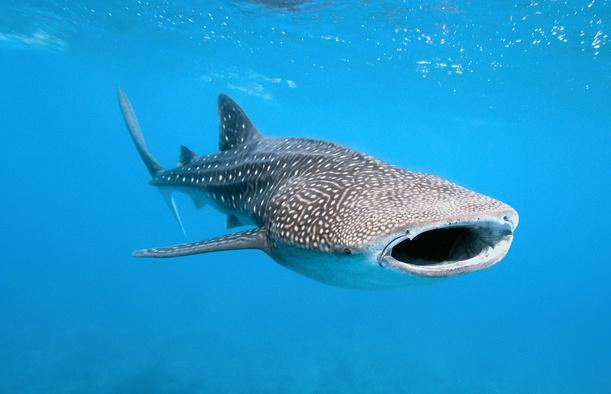 Whale sharks on Northside of Utila, gentle giants that feed on plankton