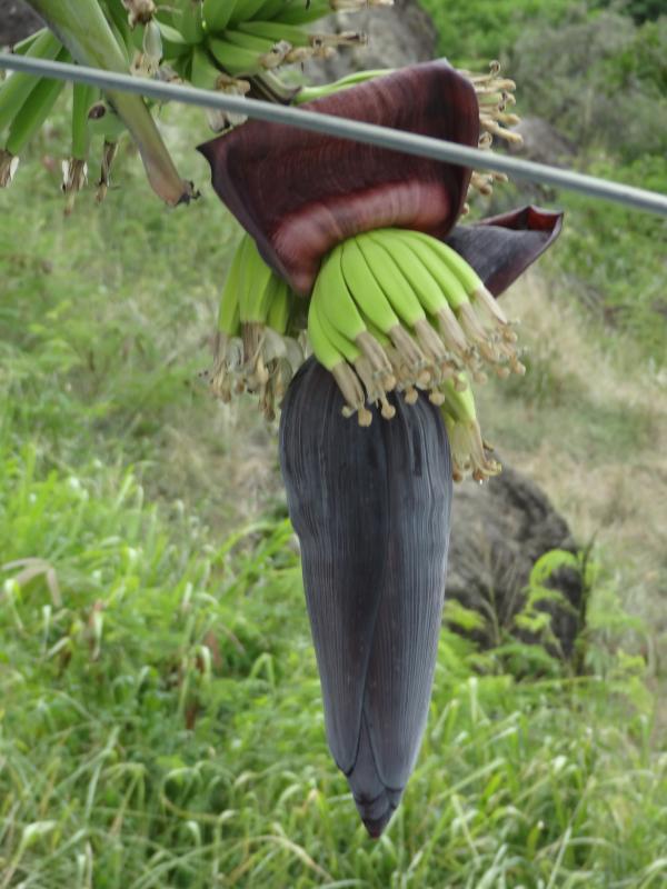 régime de bananes dans le jardin
