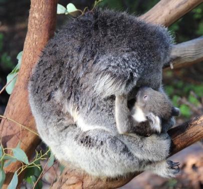 Bébé koala et maman à Healesville Sanctuary