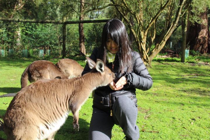 Nourrir les kangourous à Healesville Sanctuary