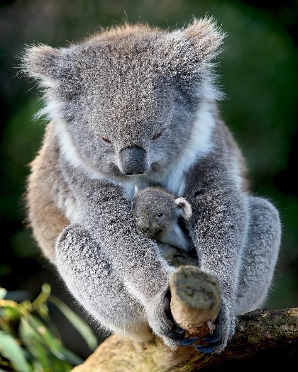 Koala avec bébé à Healesville Sanctuary