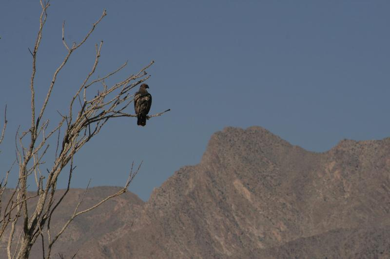 Golden eagle in the ocotillos forest, 10 min hike away from our Borrego dig