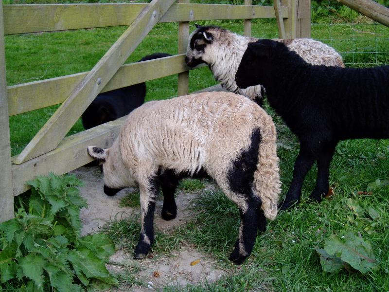 Our lambs