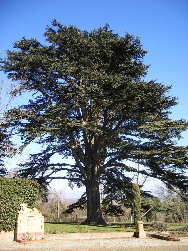 600 year old cedar's in park