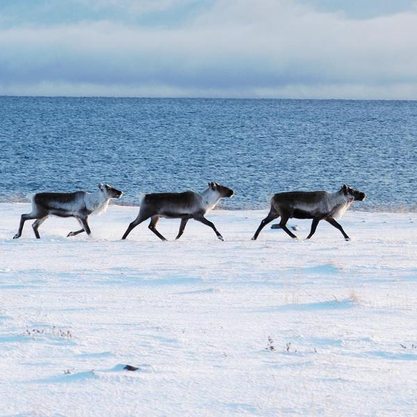 Sometimes you can see reindeer at Ekkerøy or by the road when you drive.