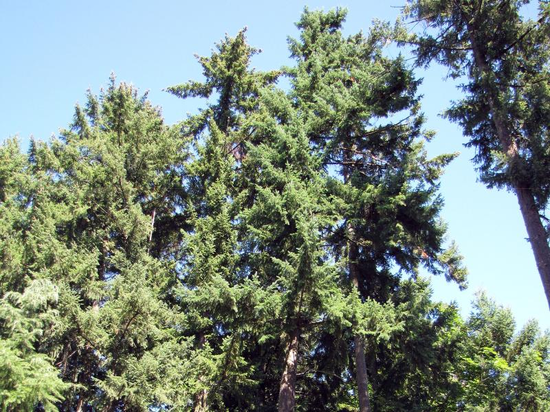 The beautiful view: 100' Douglas Fir trees grow along the creek behind our home.