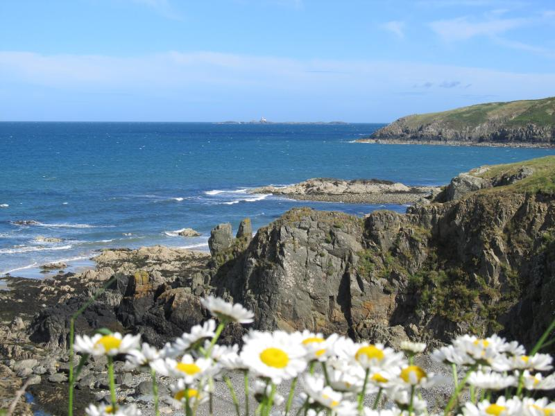 Daisies in Church Bay Anglesey