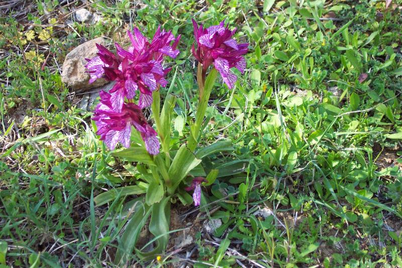 Botanical walkds, wild orchid flowers in the countryside near Agapi Holiday House.