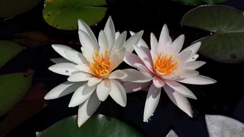 Twin lelies