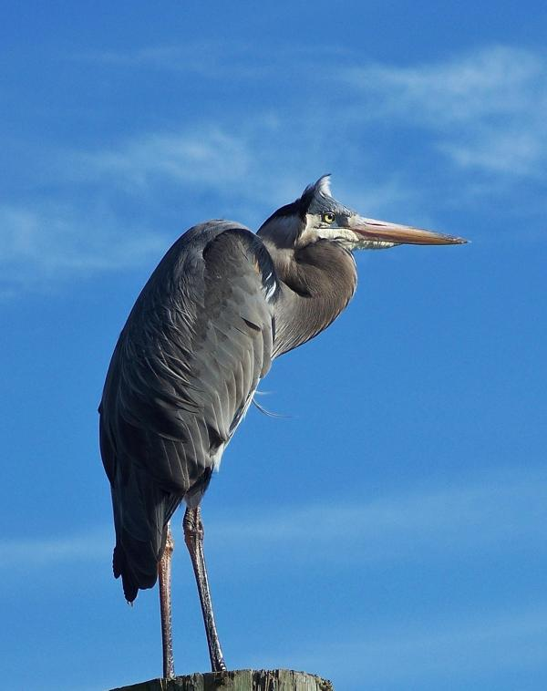 Great Blue Herons are everywhere - one lives at the Marina