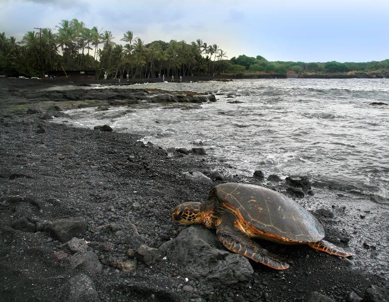 Turtles at Black Sand Beach