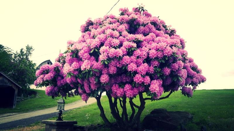 Beautiful Rhododendron in Bloom