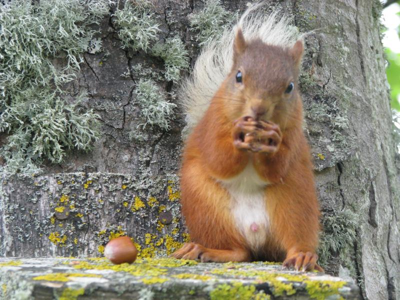 Another red squirrel enjoying some hazelnuts