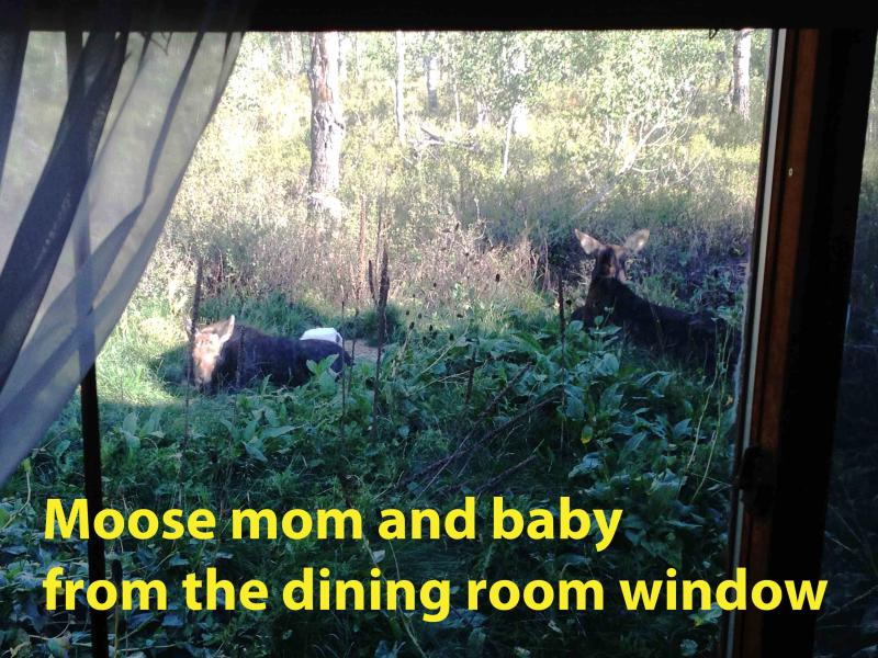 mom and baby moose by the dining room 2014