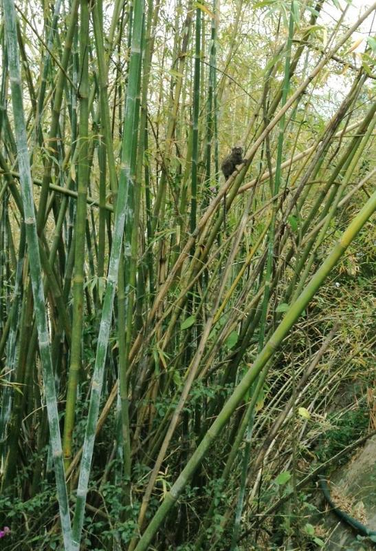 'Mico' aap in bamboe groef naast Martoeni (Gewest).