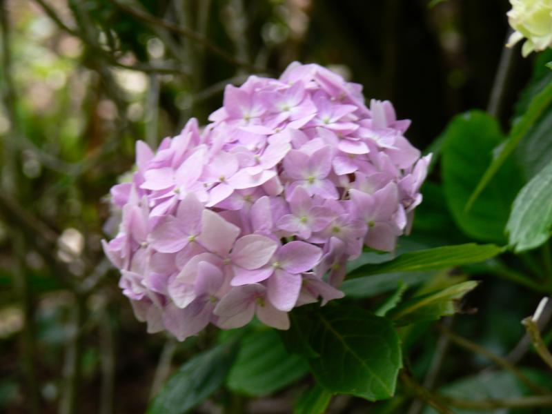 Rhododendron in the private garden