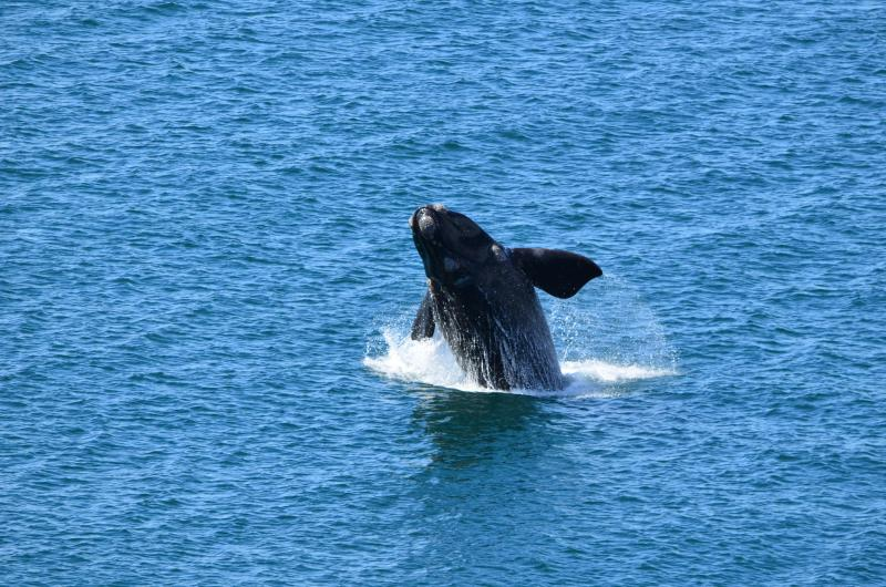 Whale Breaching from Front Balcony