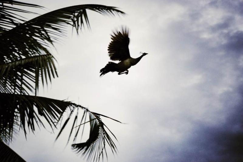 Flying Peacock on the La Cannelle Plantation