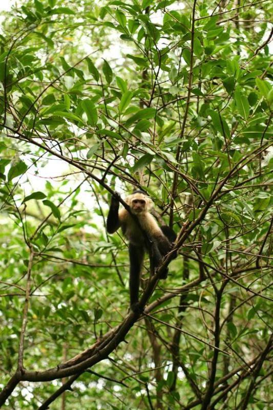Macacos com cara branca