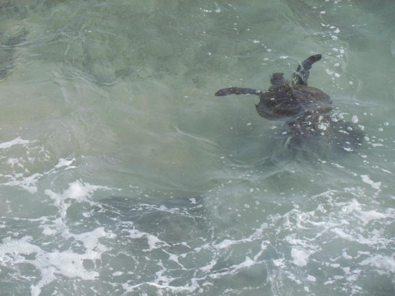 View of turtle from lanai.  The turtles love to come out at sunset and enjoy their dinner at Banyan.