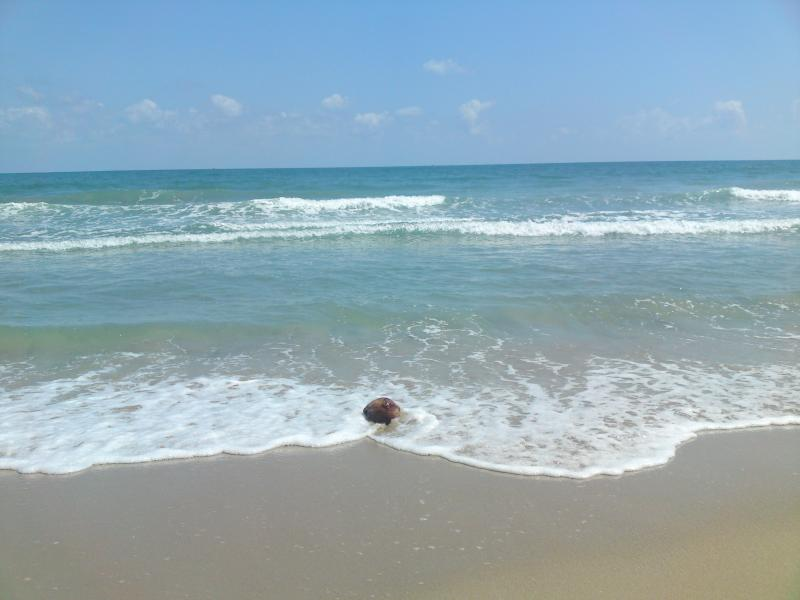 A coconut floating in the waves