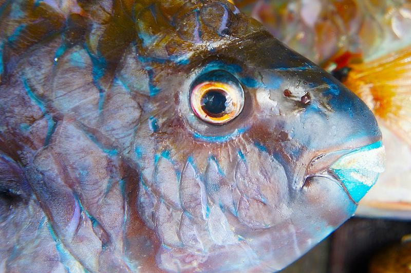 FISH 'BATATA'/ PEIXE 'BATATA'
