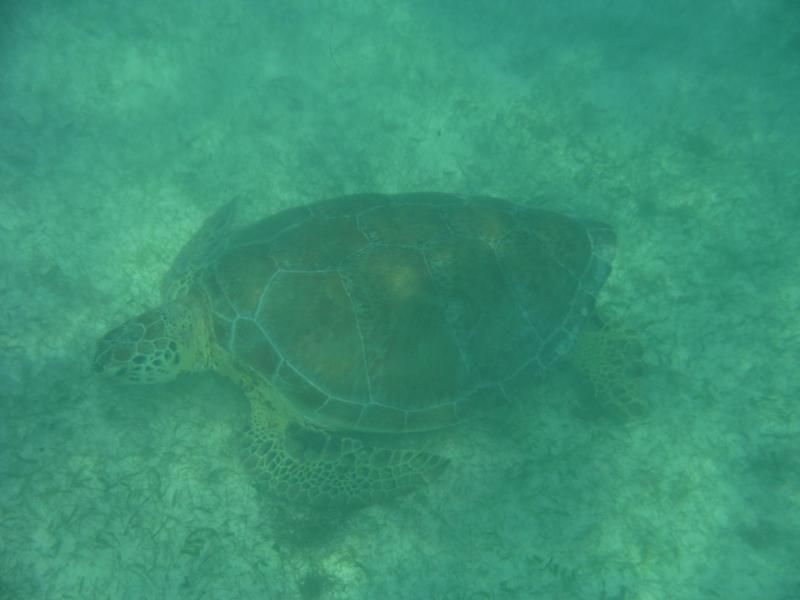 Turtles can be seen in Akumal, unforgettable