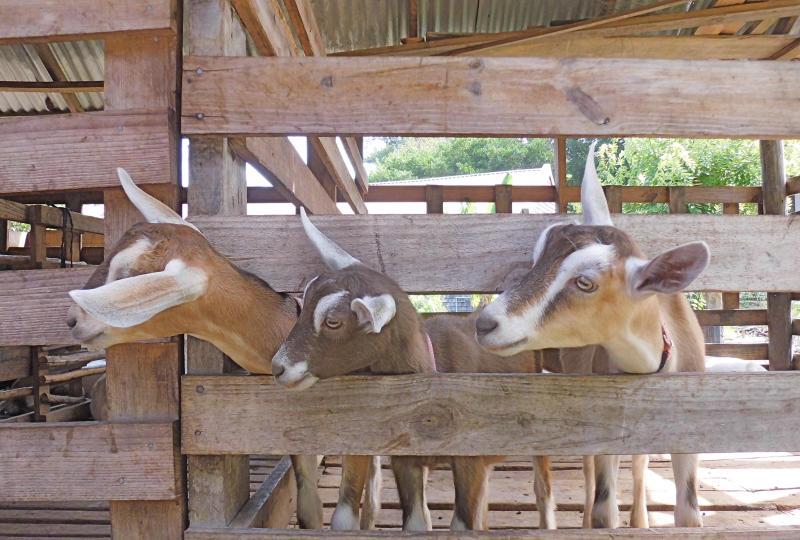 Impresiones - proyecto de cabras lecheras