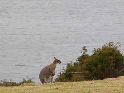 Wallabies come and visit us.
