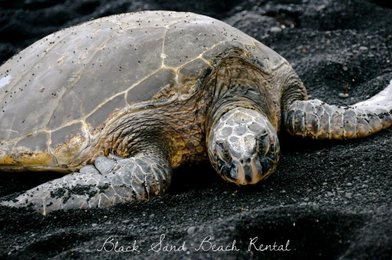 Turtles frequent the Punalu'u Black Sand Beach