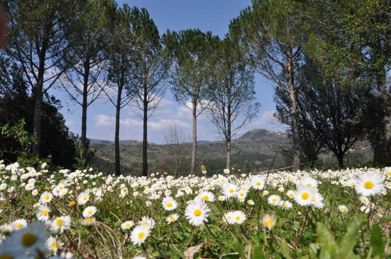 Daisies and pine trees in front of your room - another view from your private terrace
