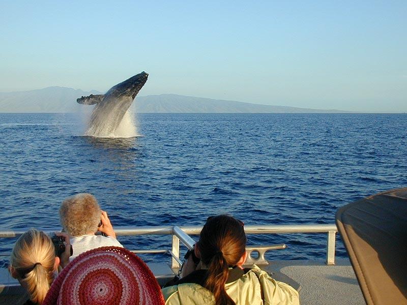 Humpback Whale Breach, South Kihei