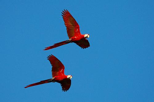 scarlet macaws are our constant companions at casa Pina