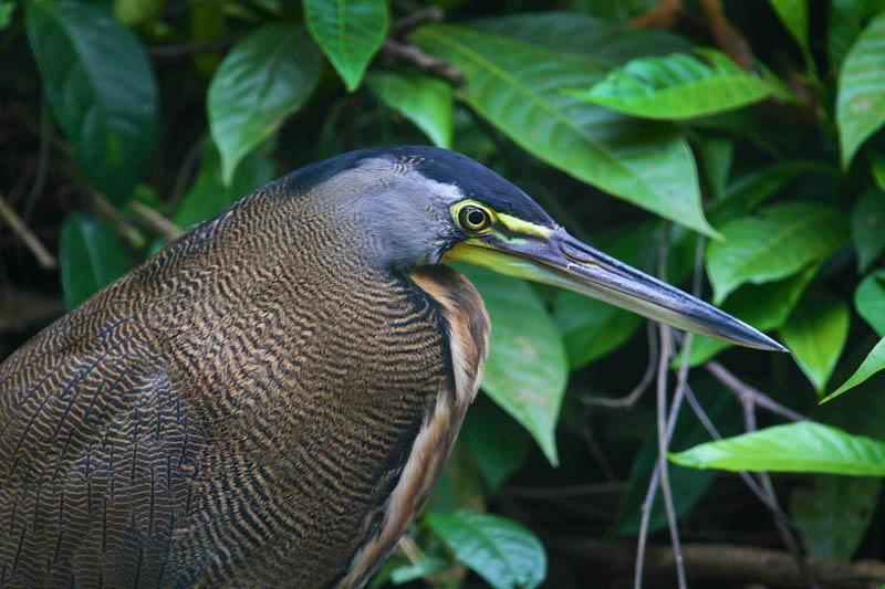 Bare-throated Tiger Heron who lives on the property