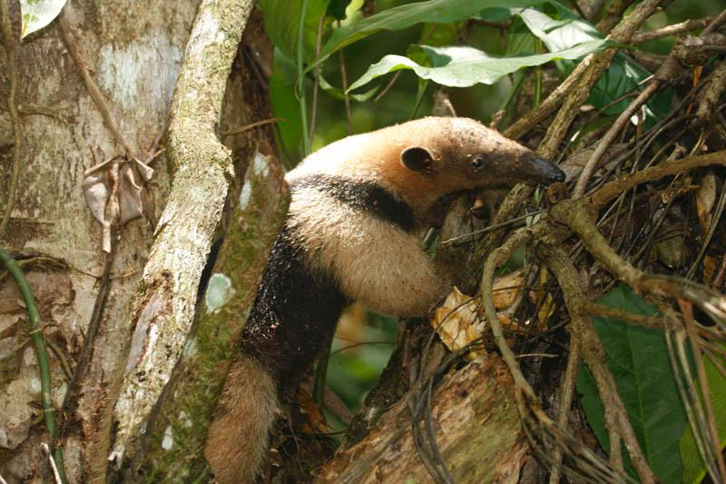 ant eater by the house