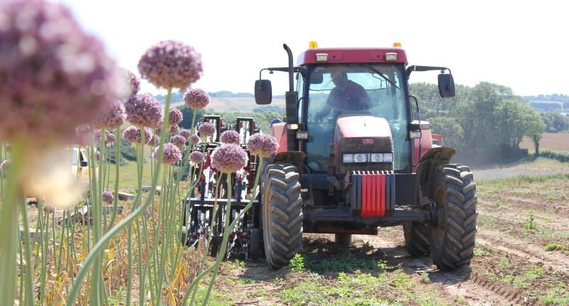 Elephant garlic harvest