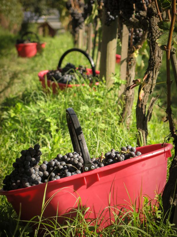 grape harvest 2014