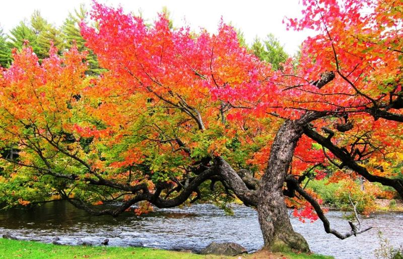Nearby: A beautiful tree on the drive to Clyffe House in Fall