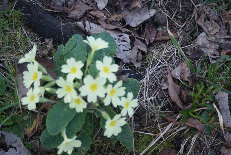 Spring flowers abound in Long Wood - primroses, orchids, violets and cowslips to name a few