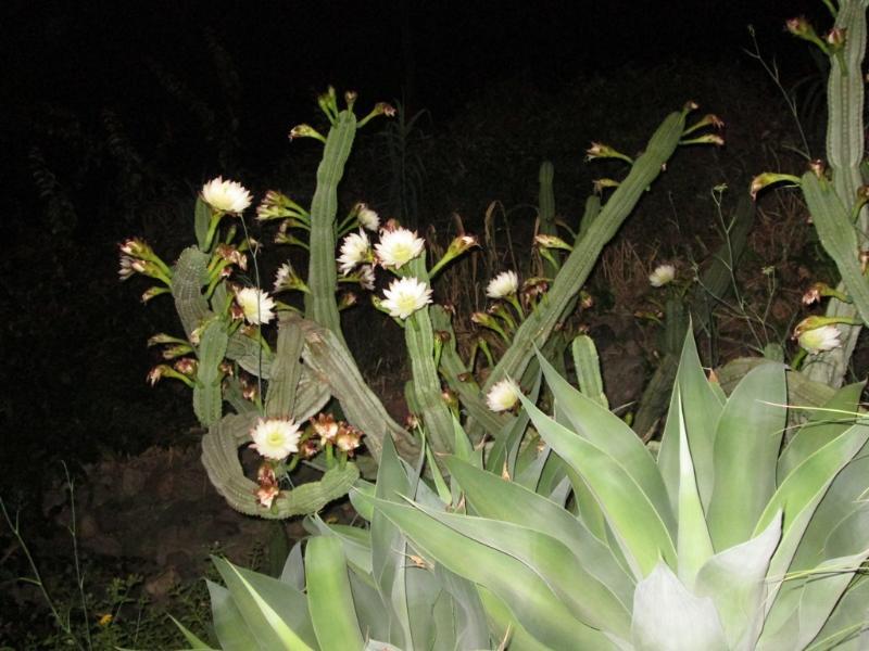 Kaktus in Blüte