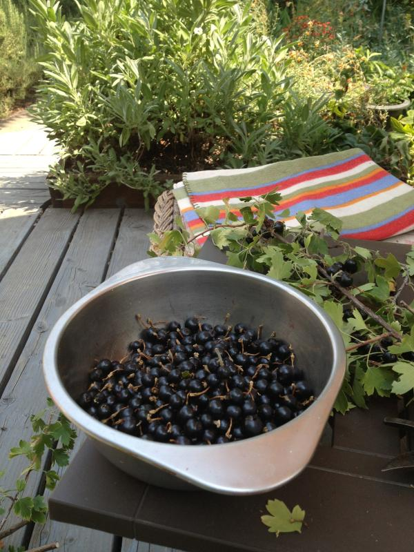 Currant - Berries from the Garden
