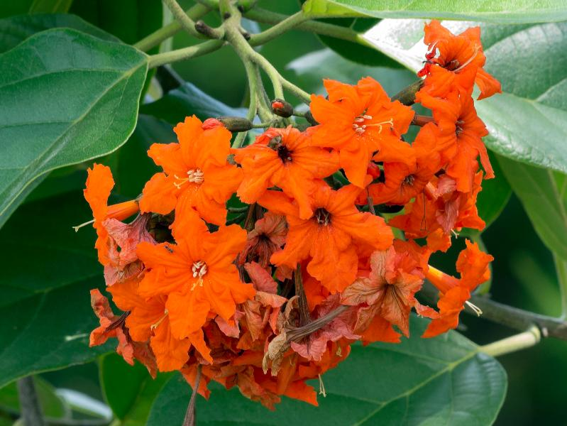 Geiger Tree Flower