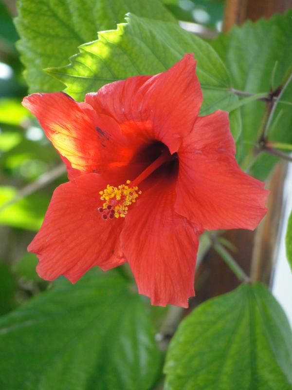 Hibiscus on Veranda