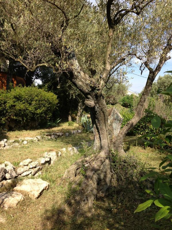 L'un des nombreux oliviers de la propriété
