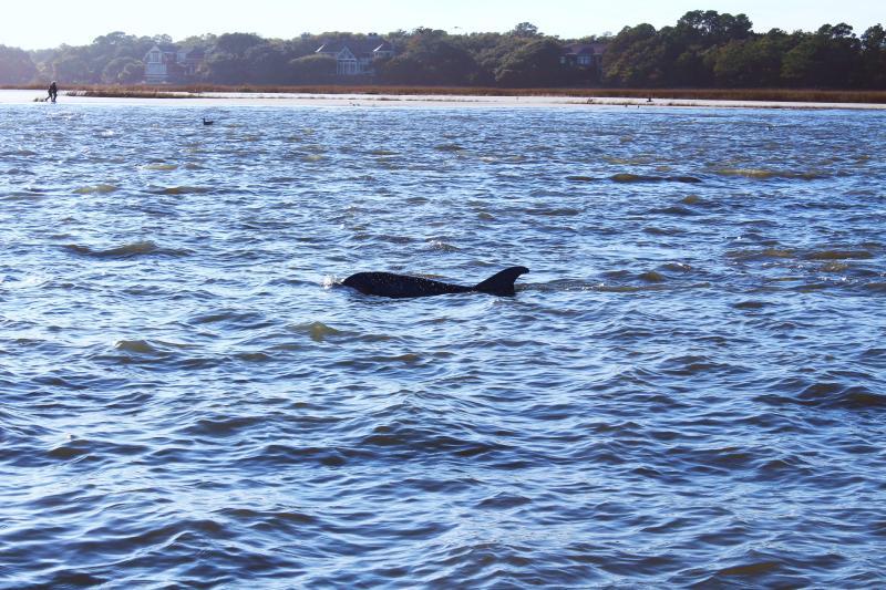 Dolfijnen frolic net langs het strand in de rivier Kiawah