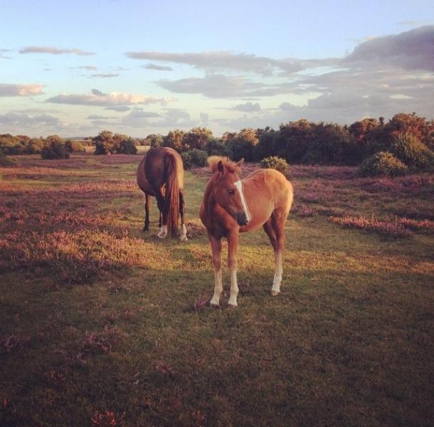 Ponies in the heather at dusk.