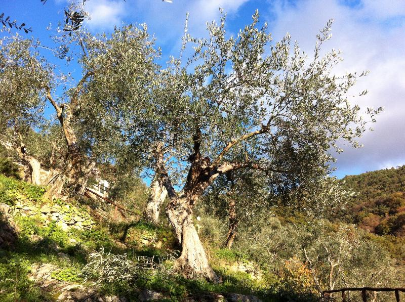 Oen of our olive trees with a view up the hill