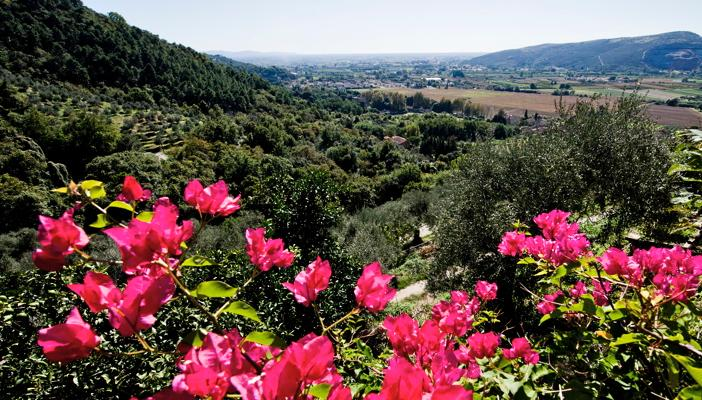 Bougainvillea, olive grove and valley videw to Pisa